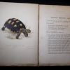 Plate & text of Testudo carbonaria in Bell's Monograph of the Testudinata
