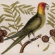 Image of a Catesby Parakeet