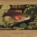 """Philip Henry Gosse The aquarium: an unveiling of the wonders of the deep sea , 1856 """"The Ancient Wrasse"""""""