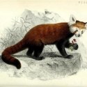 """Image of a red panda from the book """"Proceedings of the Zoological Society of London"""""""