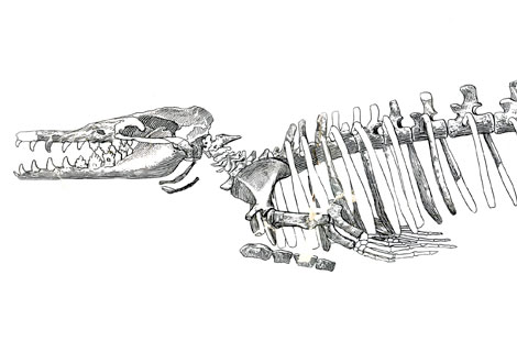 Whales- From Bone to Book