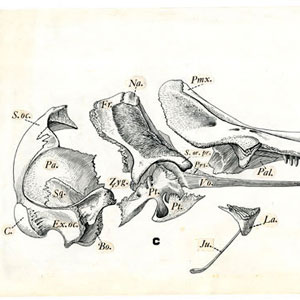 Scientific Illustration of bone fragments