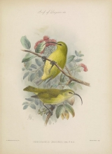 plate with image of male and female Hemignathus obscurus, a small yellow bird with a curved beak