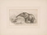 """Cover of Original pen and ink drawing of """"Elephant cow feeding on cane grass,"""" sketched February 8, [1907?]"""