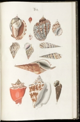 Table 6 showing images of shells from invertebrates in the Buccinum and Strombus genera