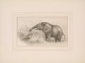"Cover of Original pen and ink drawing of ""Elephant cow feeding on cane grass,"" sketched February 8, [1907?]"