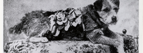 image of Owney the dog with his many postal badges pinned to his jacket.