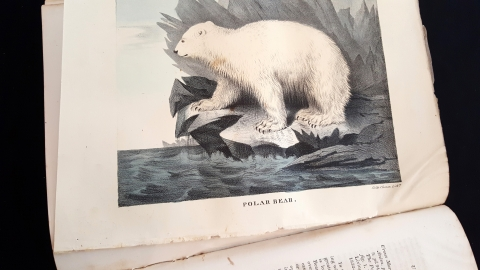 Illustrated color plate of Polar Bear from Vol. 2 Cabinet of Natural History