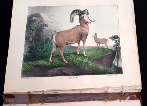 Color illustration of the American Argali from Vol. 1 of the Cabinet of Natural History