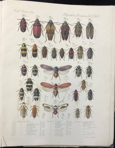 Biologia Centrali Americana Insecta_Cicadas