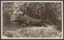 Cover of Black and white photograph of Theodore Roosevelt, with the bull elephant he had just killed