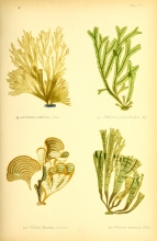 Mrs. Alfred (Margaret) Gatty, British Sea-weeds, London, 1872