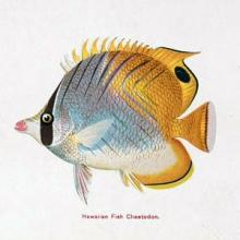 colorful Hawaiian fish