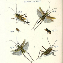 illustration of grasshoppers