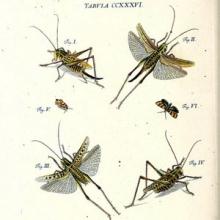 illustration of grasshoppers