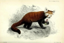 "Image of a red panda from the book ""Proceedings of the Zoological Society of London"""