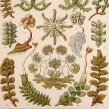 Illustration of Hepaticae by Ernst Haeckel.