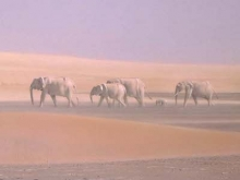 A drawing of sand dunes in the desert. In the background, a group of elephants walks across the sand.