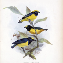 birds on a branch from Biologia Centrali Americana