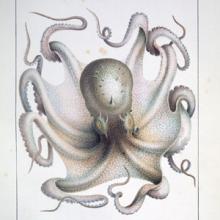 octopus vulgaris illustration