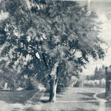 Black and white engraving of a large tree