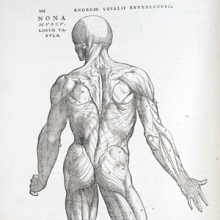 drawing of human musculature system