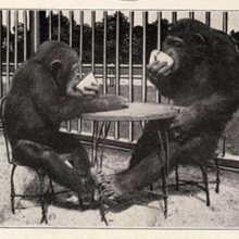 Photo of two young chimpanzees sitting at a table drinking from cups.