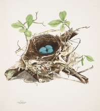 Image of nest of blue eggs
