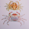 Studies on the crabs of Japan