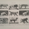"""""""The Walk,"""" Page 85 of Animals in Motion, showing photos of 'phases of the walk' of various animals"""
