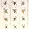 Svenska spindlar