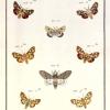 Papillons d'Europe, peints d'après nature