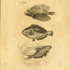 Engraved plate from Icones piscium featuring three fish