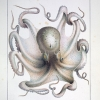 octopus vulgaris illustration