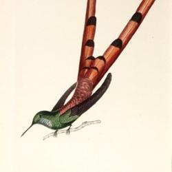 Les trochilidées, ou, les colibris et les oiseaux-mouches
