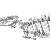 Whales: From Bone to Book