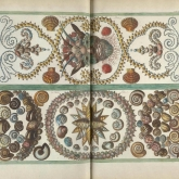 Illustration of shells from the collection of Albertus Seba