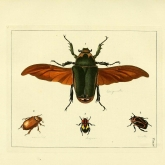 illustration of a large winged beetle