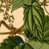 detail of illustration of hops from Köhler's Medizinal-Pflanzen in naturgetreuen