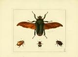 illustration of a large winged beetle