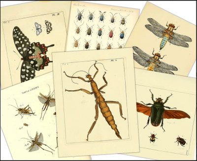 pages of illustrations depicting various insects